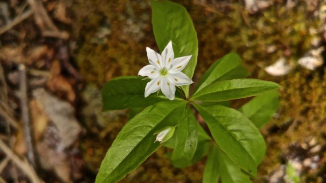 p-ph starflower 7
