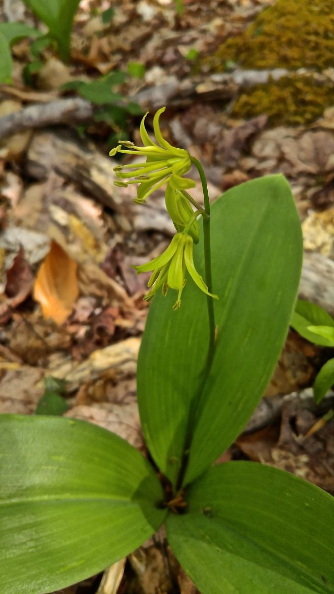 p-ph yellow clintonia