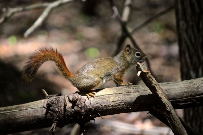 p-red squirrel