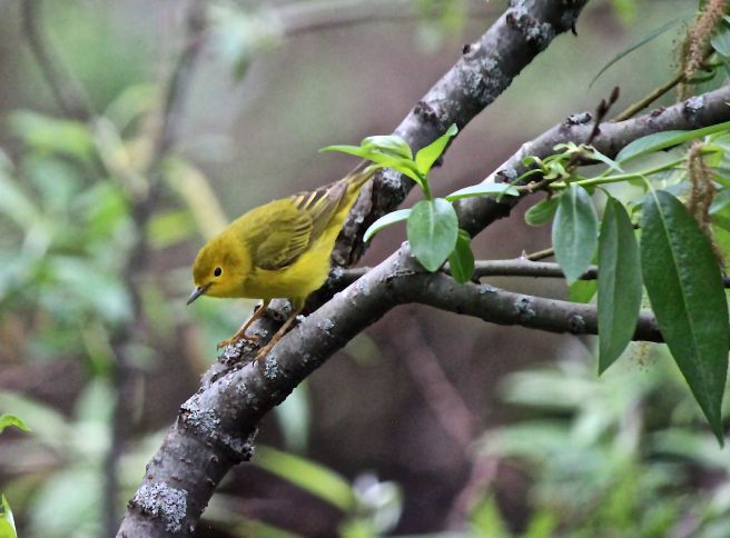 p-yellow warbler 1