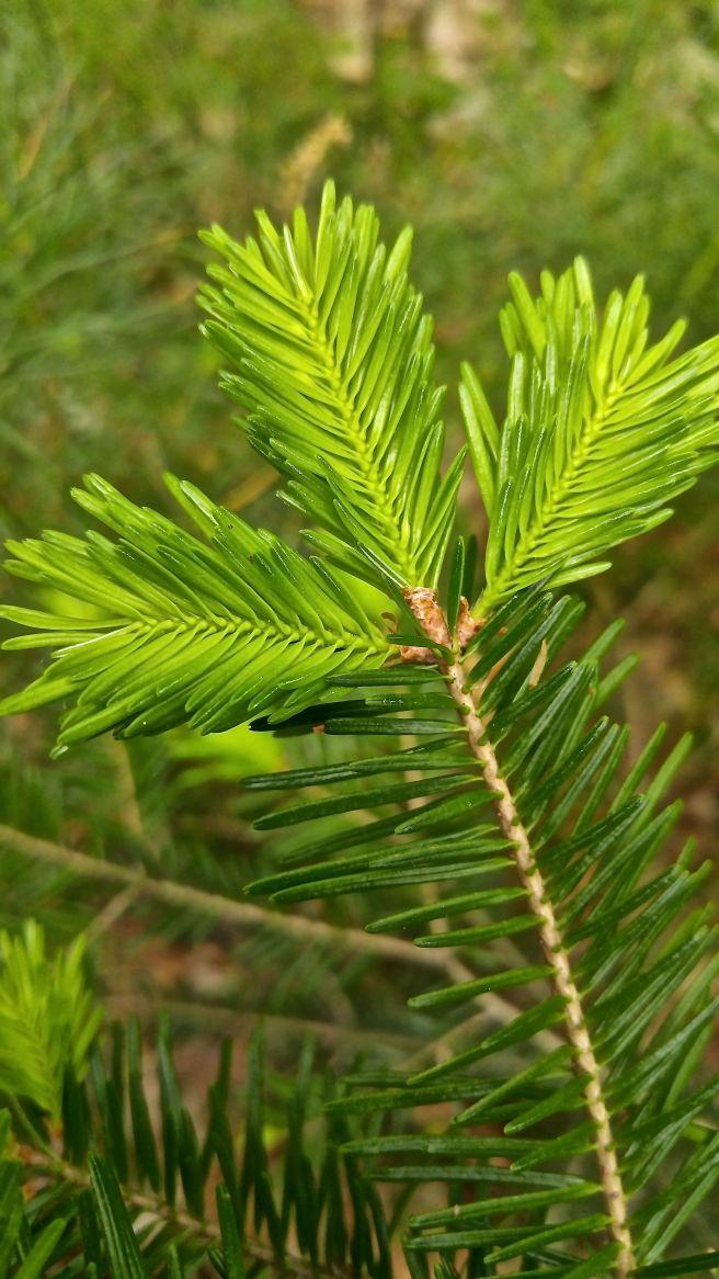 ph-balsam growth1