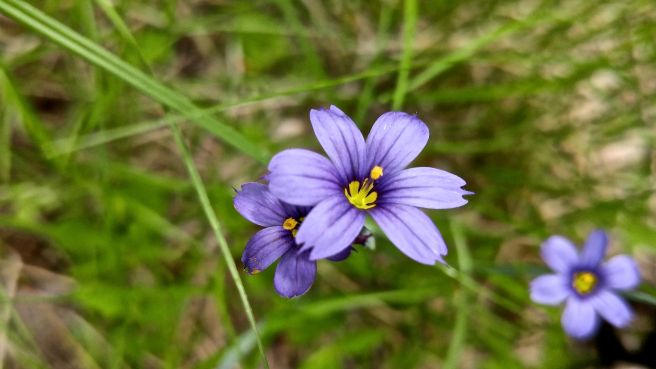 b-blue-eyed grass1