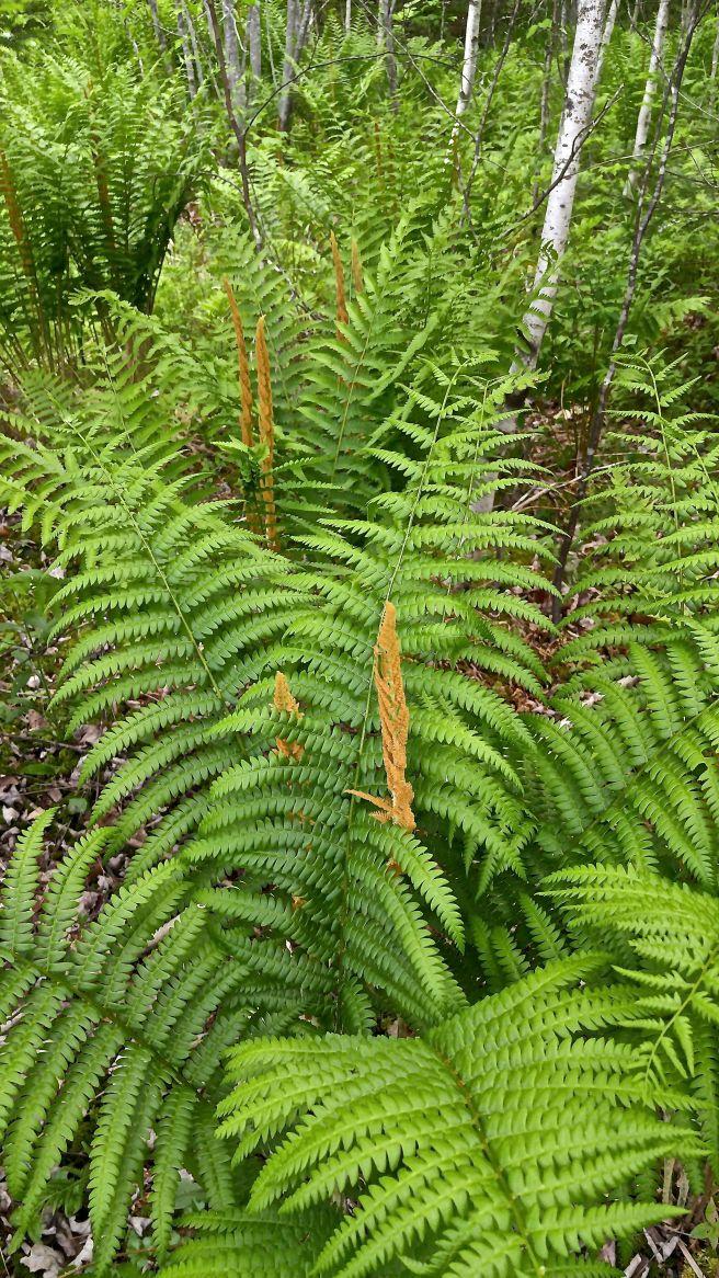 b-cinnamon ferns