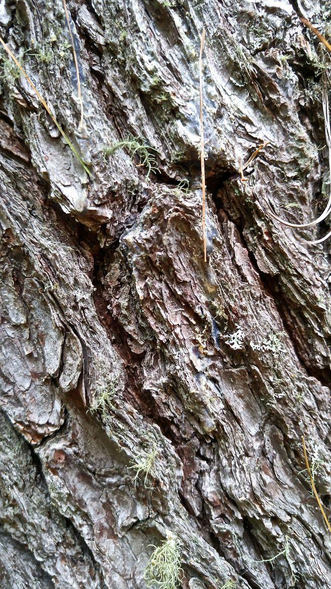 b-pine bark