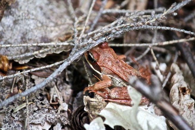 b-wood frog 1