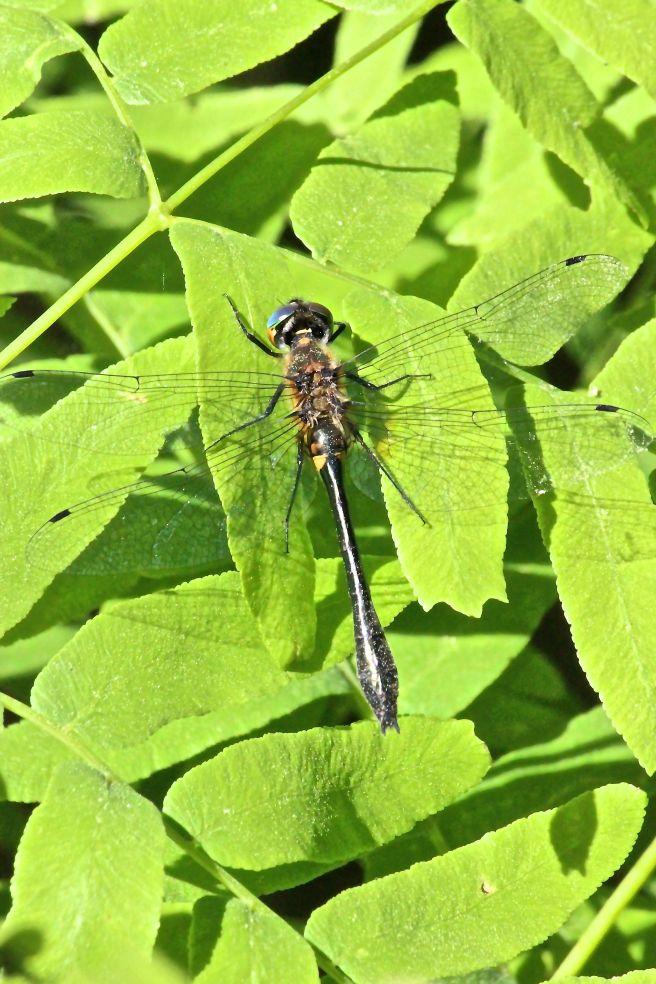 beaverpond clubtail dragonfly