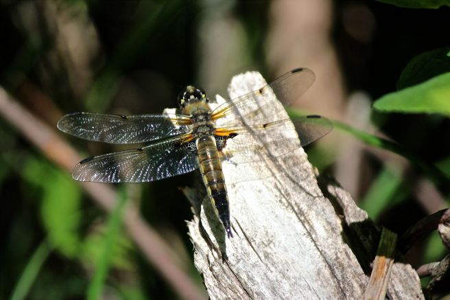 broad-tailed shadow dragonfly