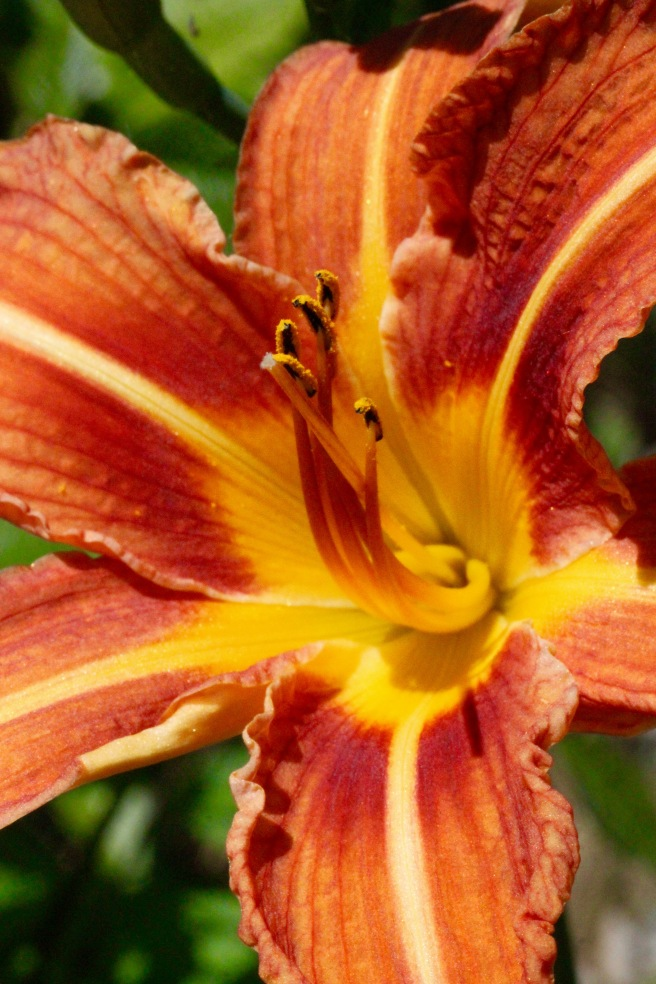 Day lily--perfect.jpg