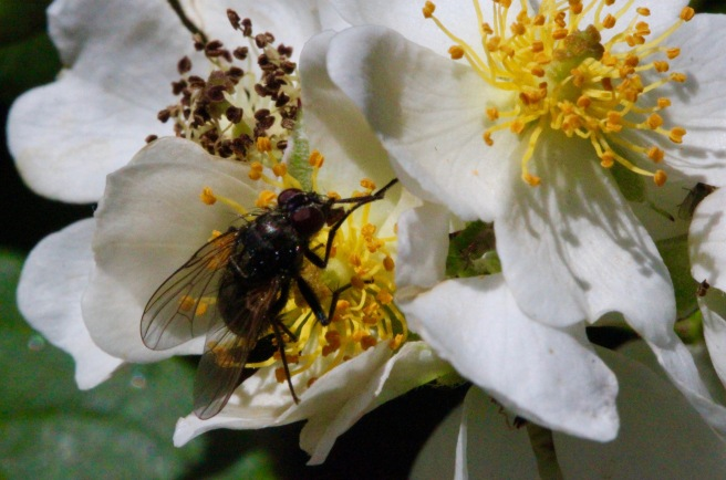 fly on multiflora rose