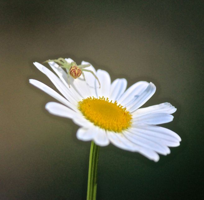 i-spider on daisy