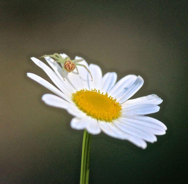 i-spider on daisy