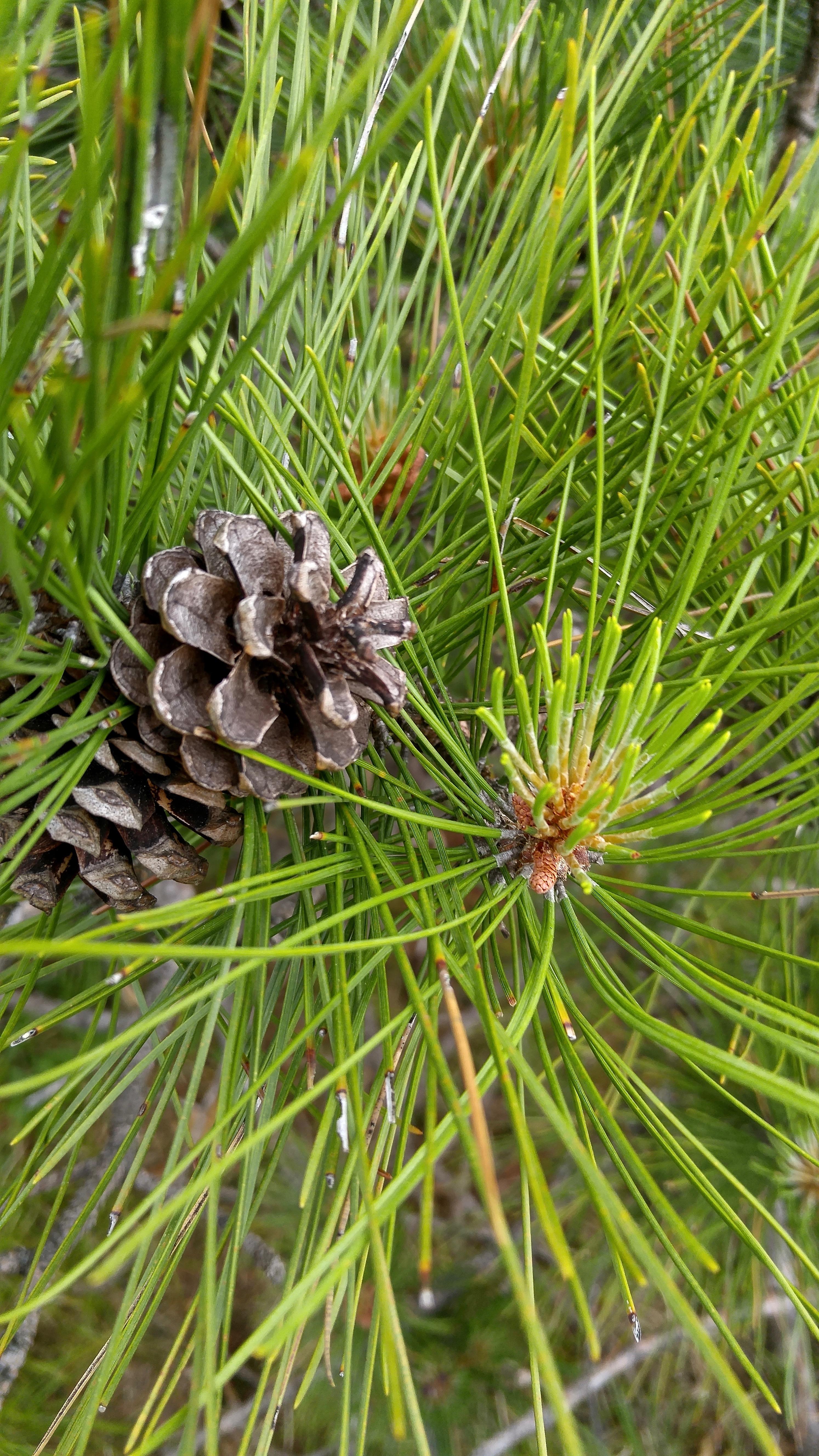 ph red pine 3 (1)