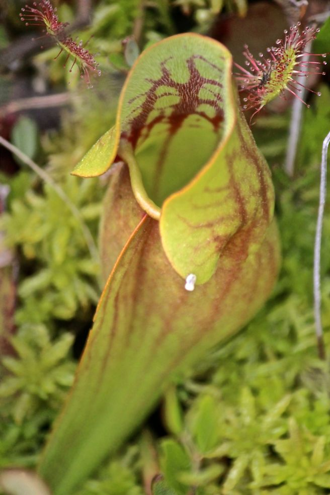 pitcher & sundew1