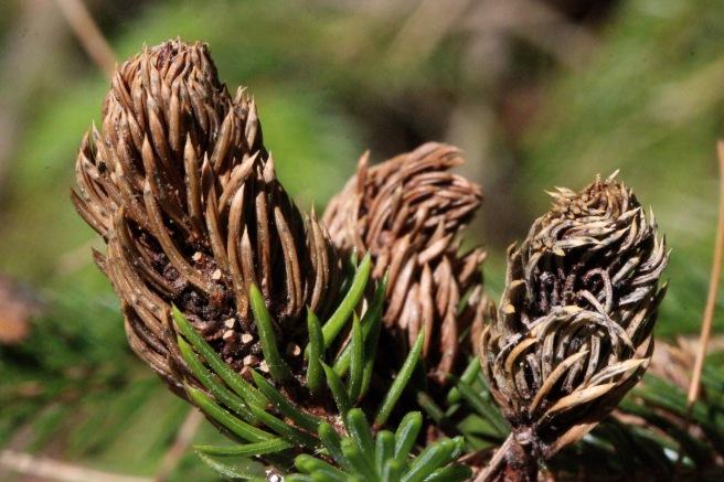spruce gall