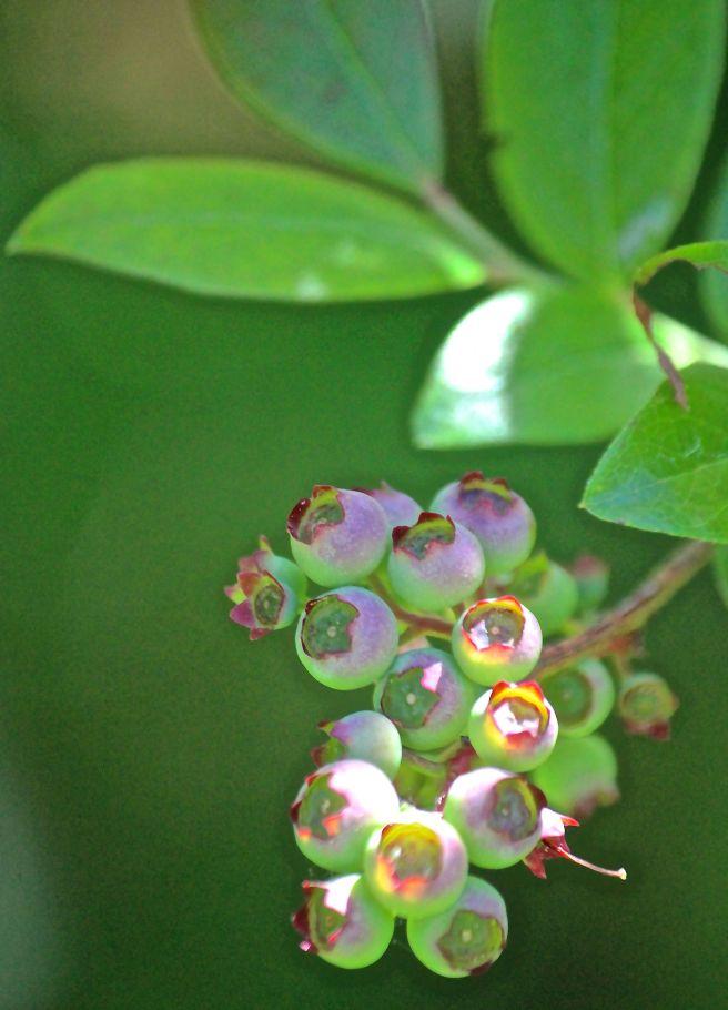 y-berries1