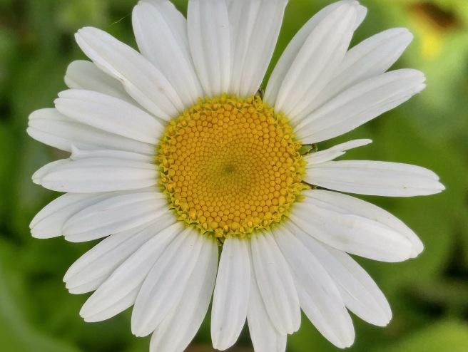 y-daisy 2 (1)