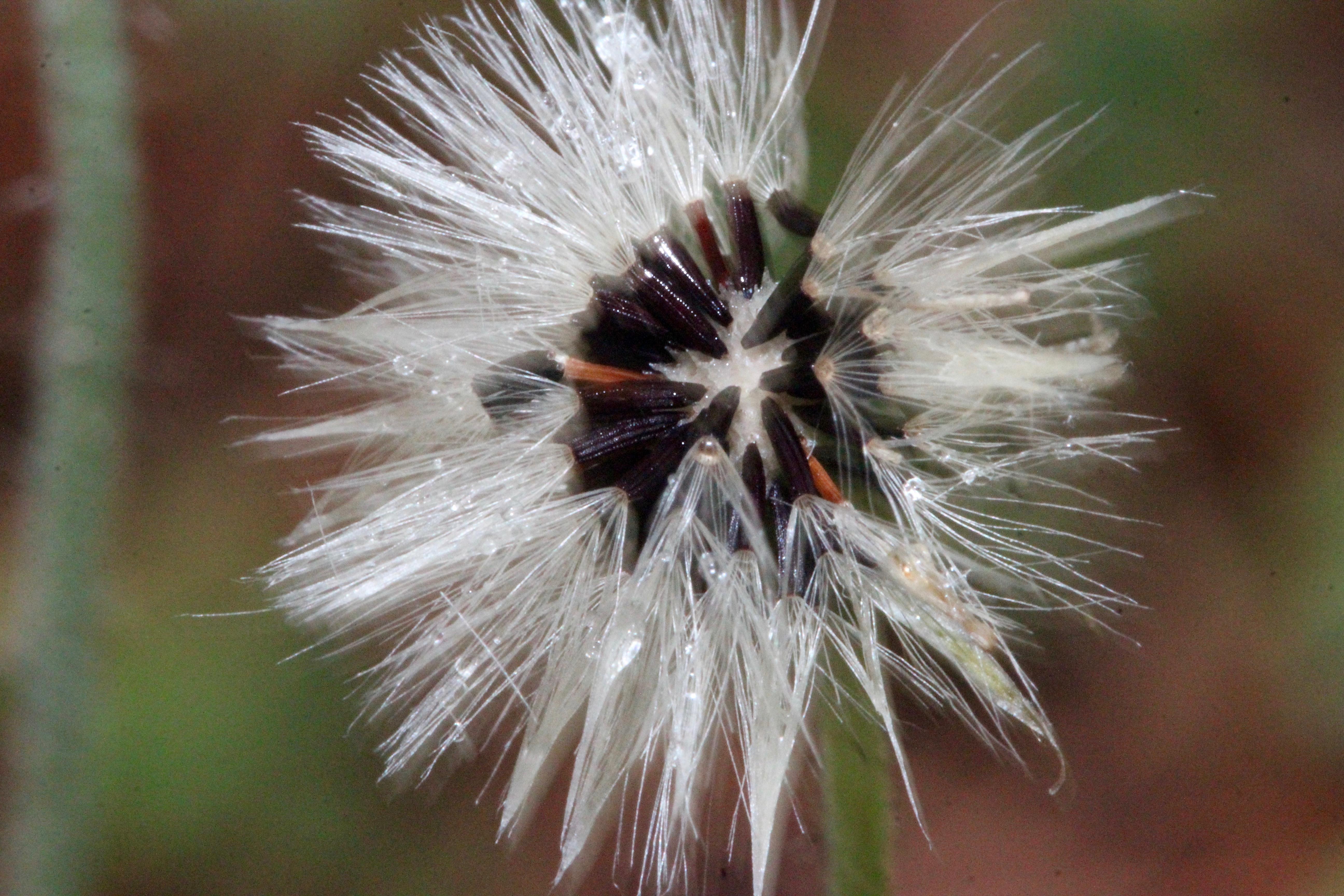 1 hawkweed