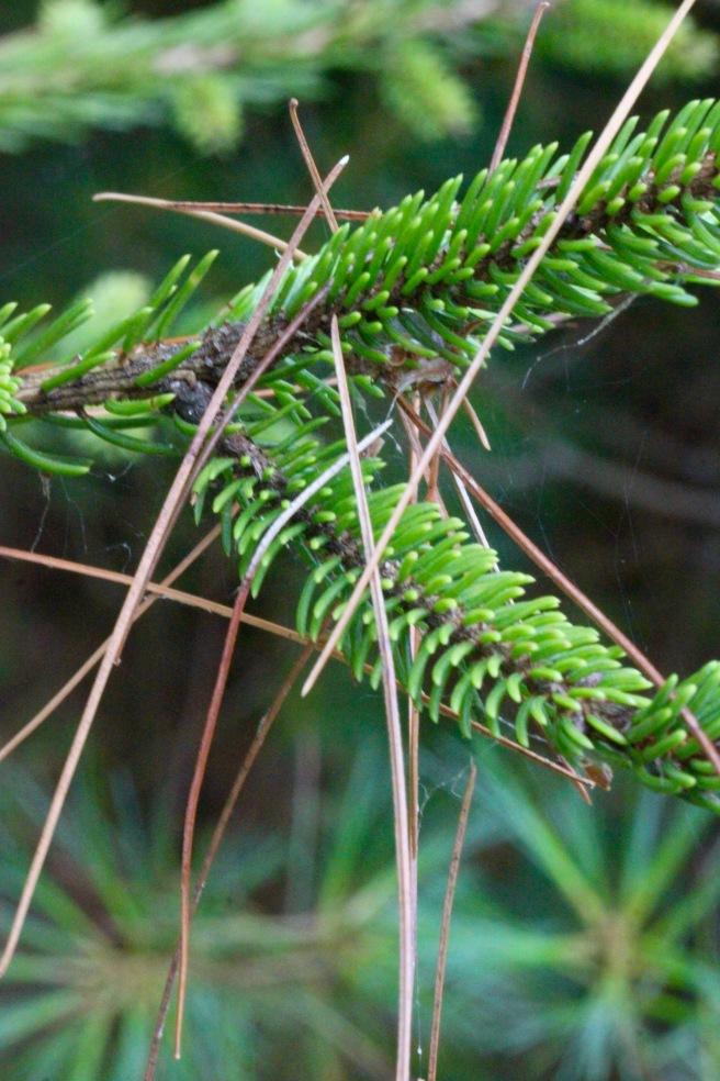 h-pine needles