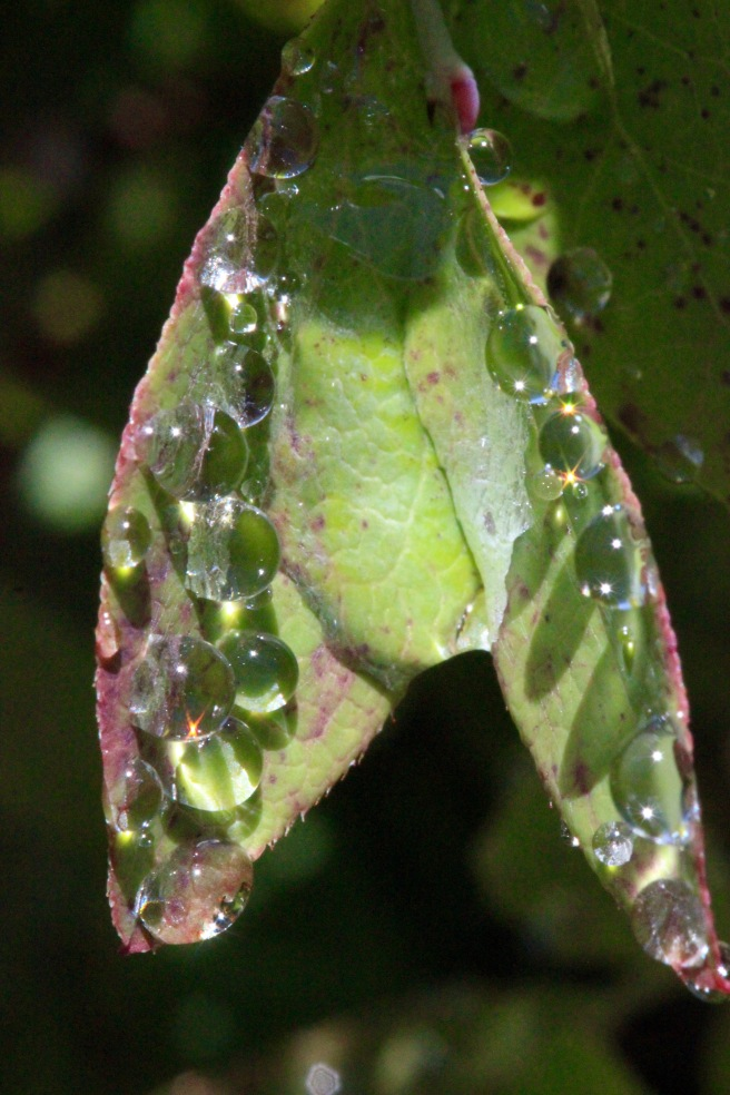p-rain on berry leaves