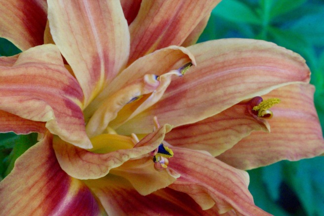 w-double or triple daylily