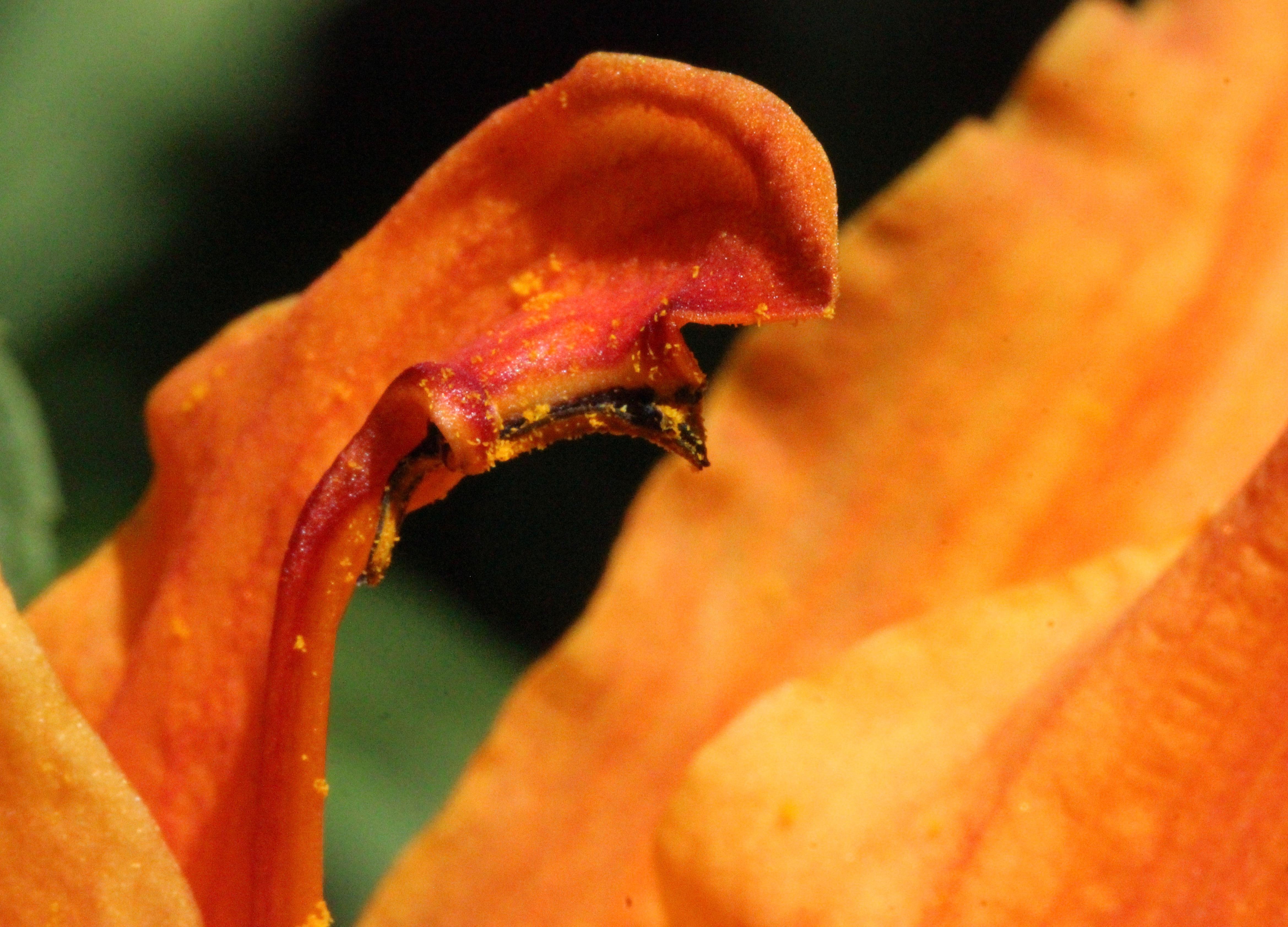 w-lily pollen
