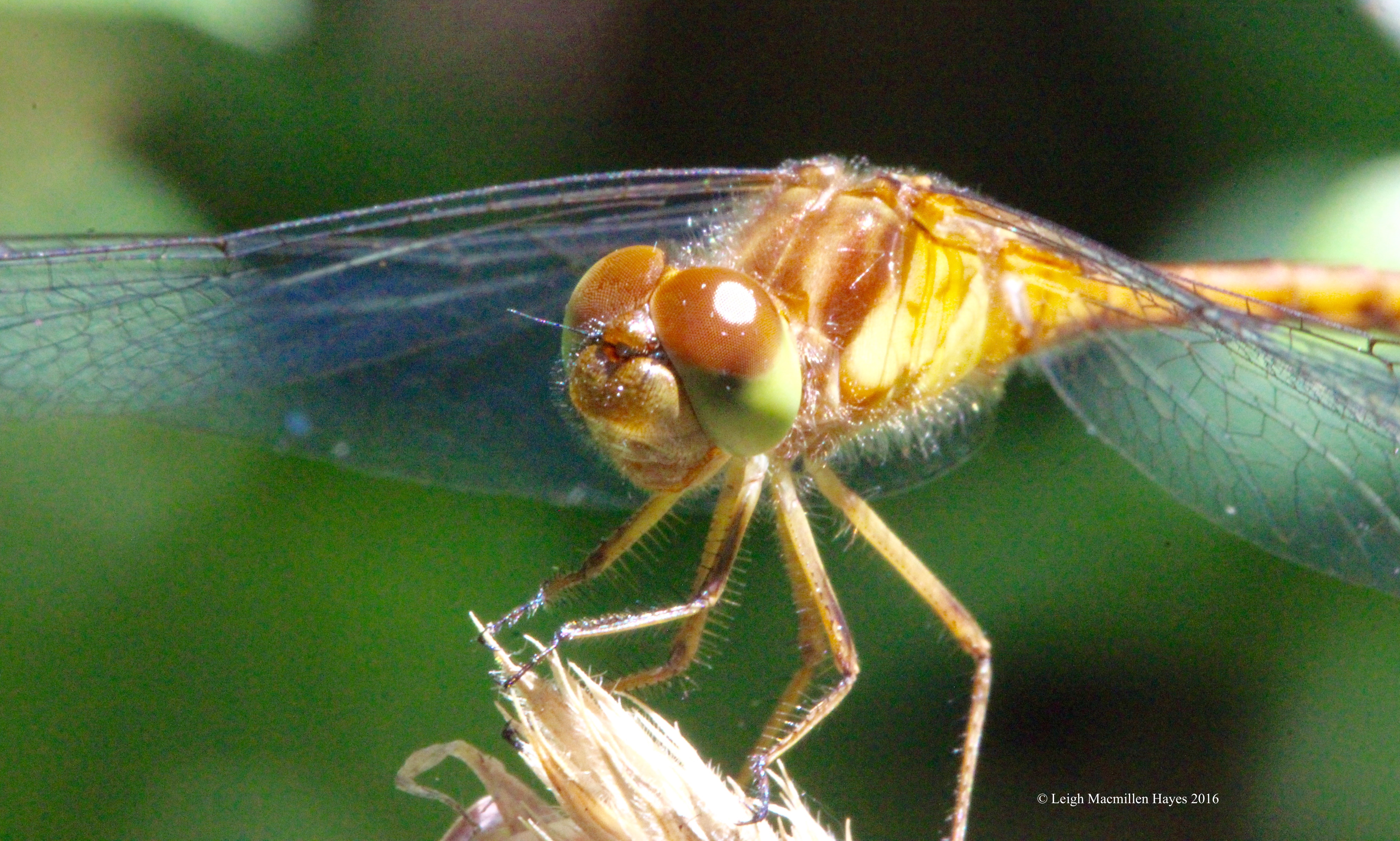 c-whitefaced meadowhawk 2