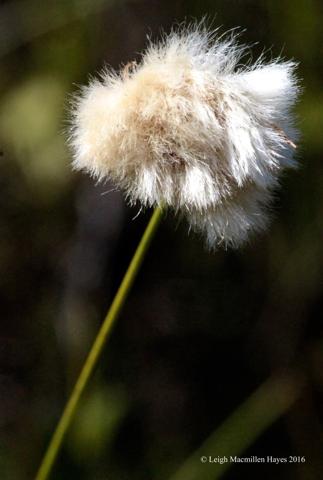 h-cotton grass