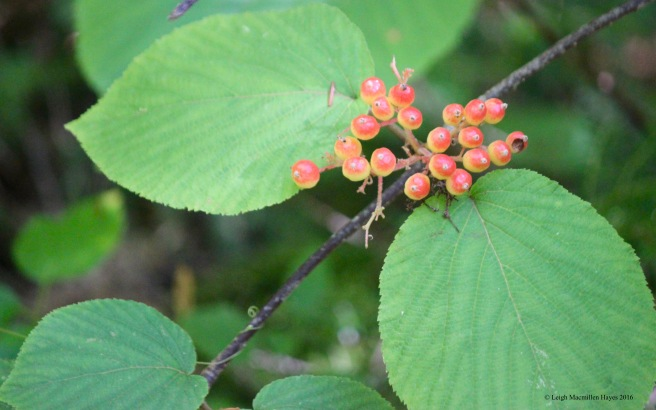 h-hobblebush berries
