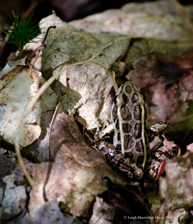 h-pickerel frog