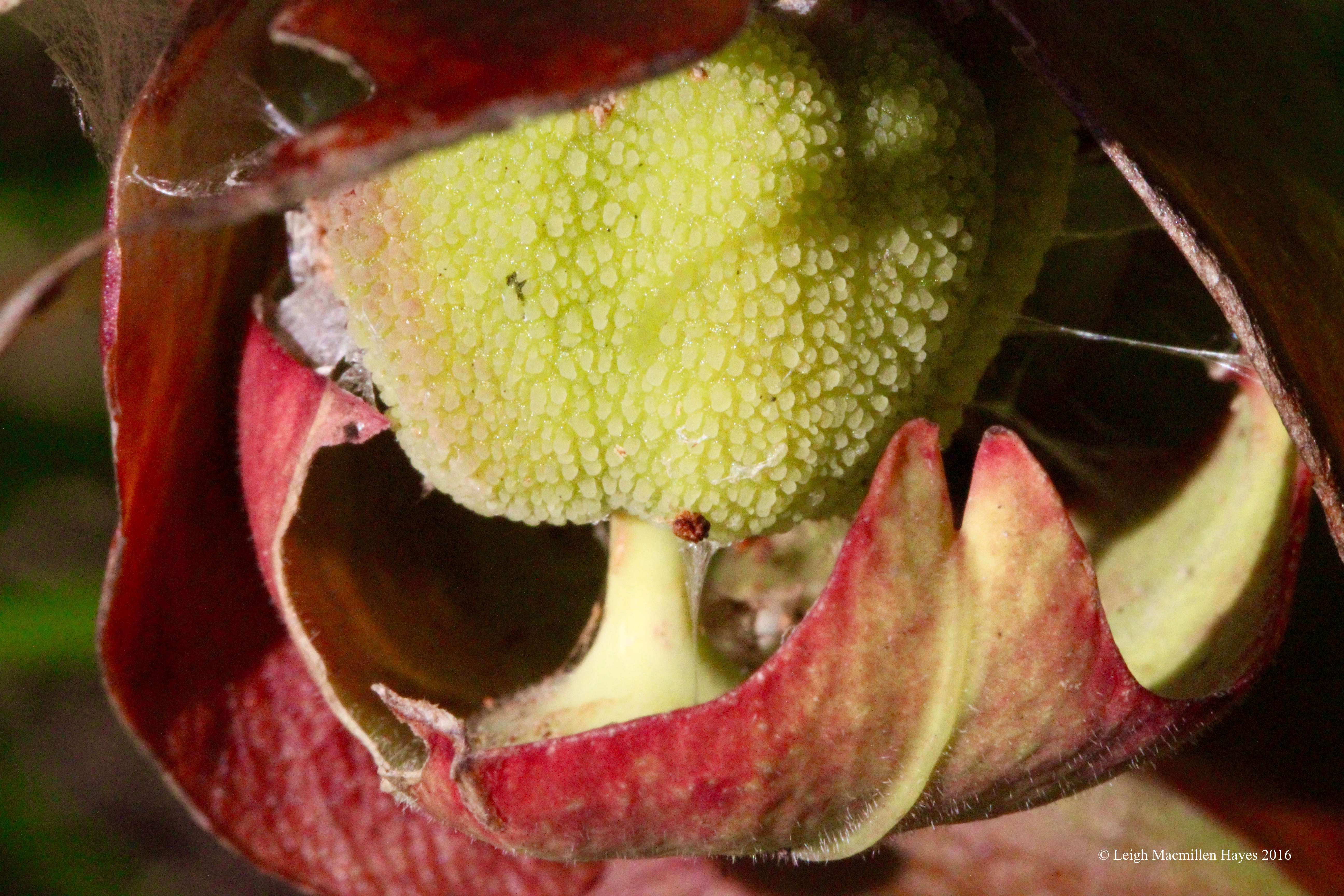 h-pitcher  flower up close