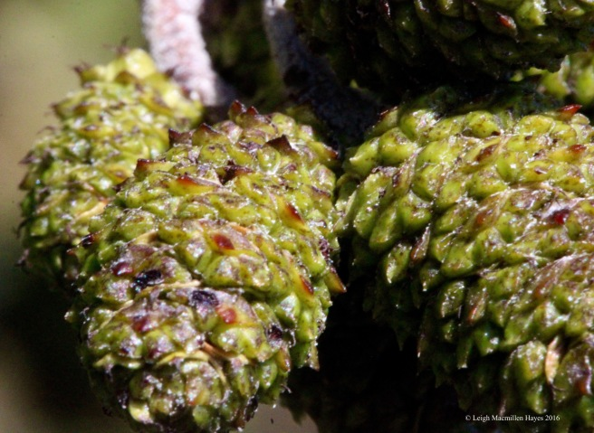 h-speckled cones new