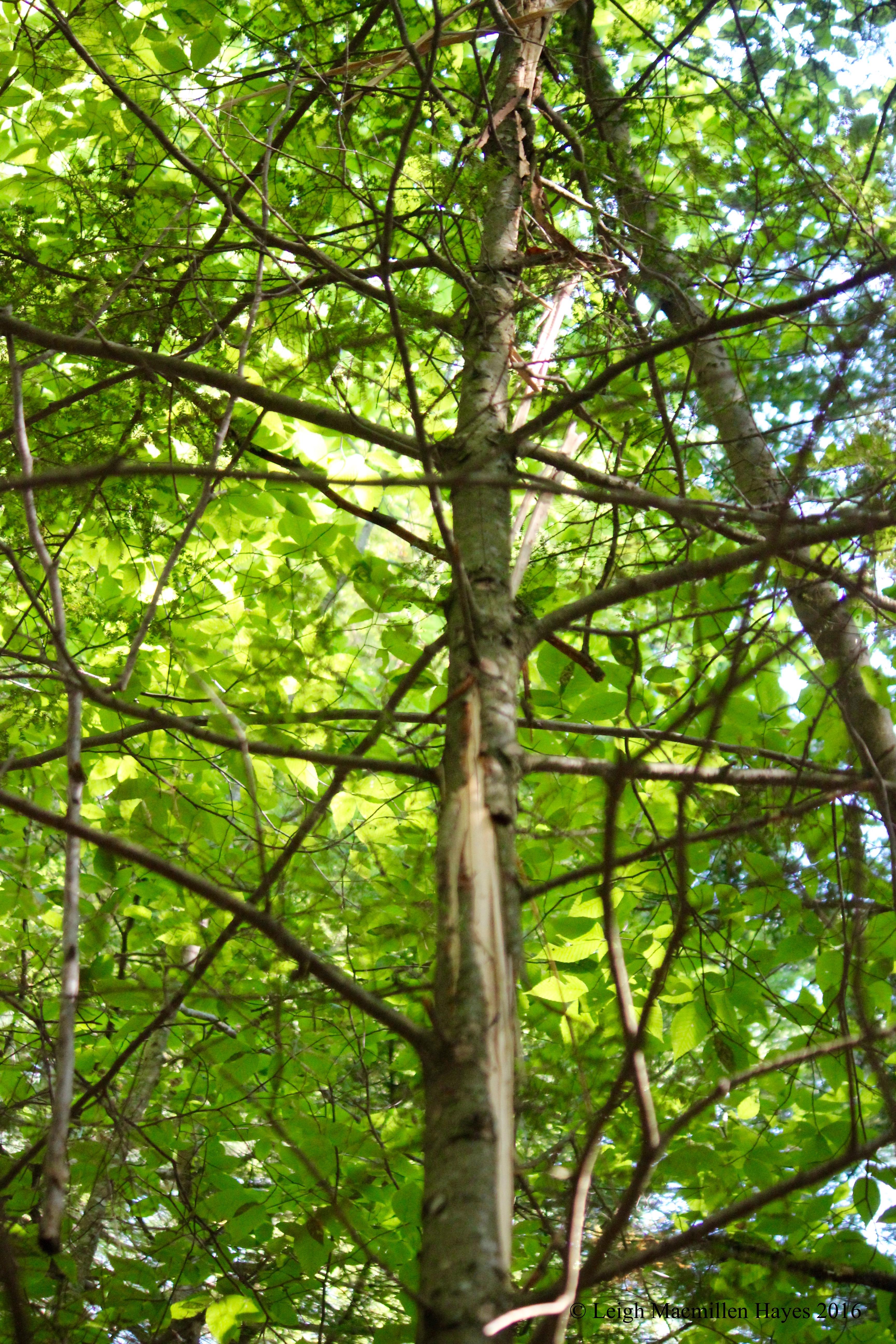 j-lightning tree 1