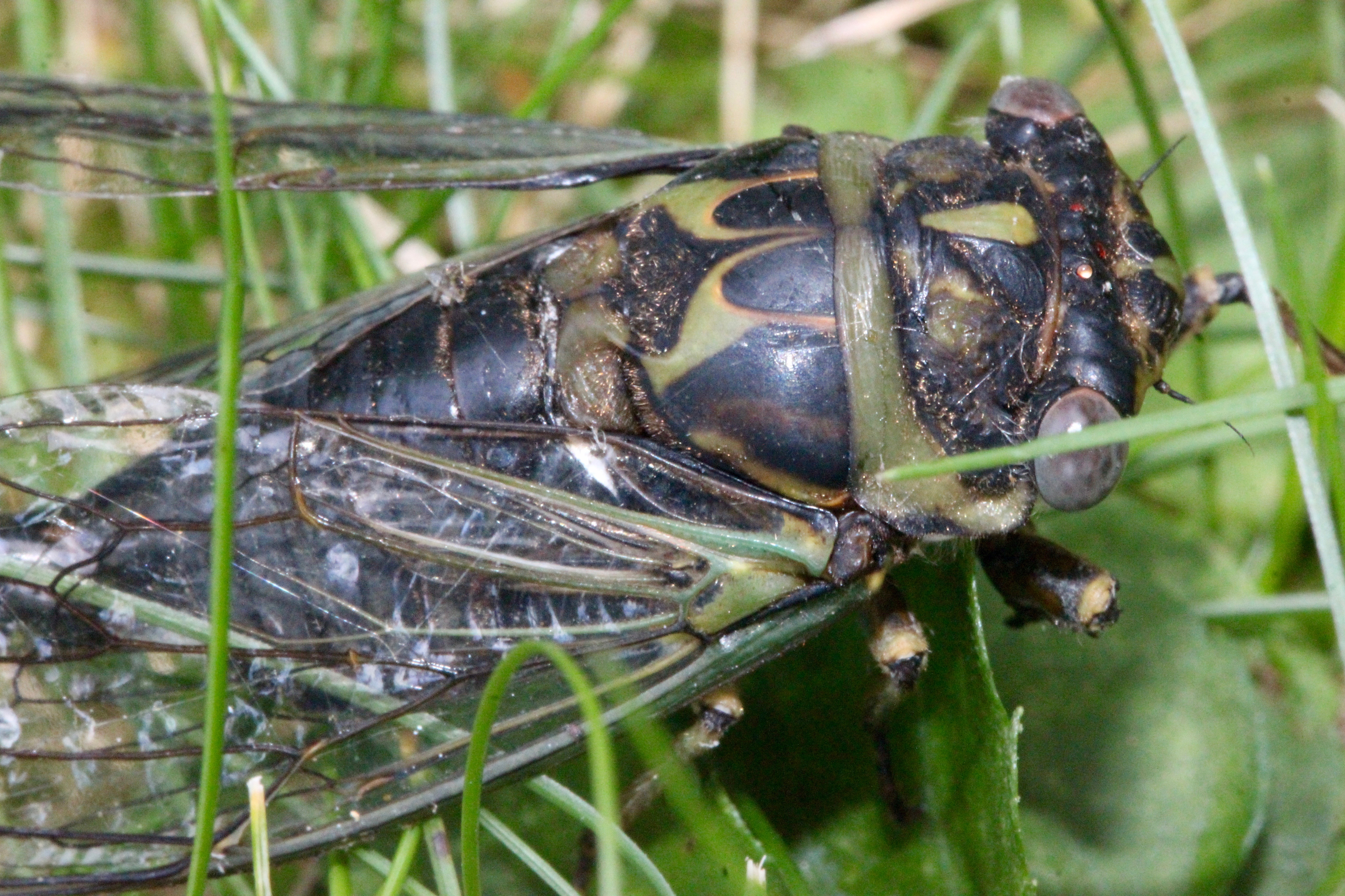 m cicada up close 2