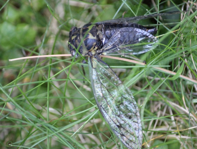 m cicada wings