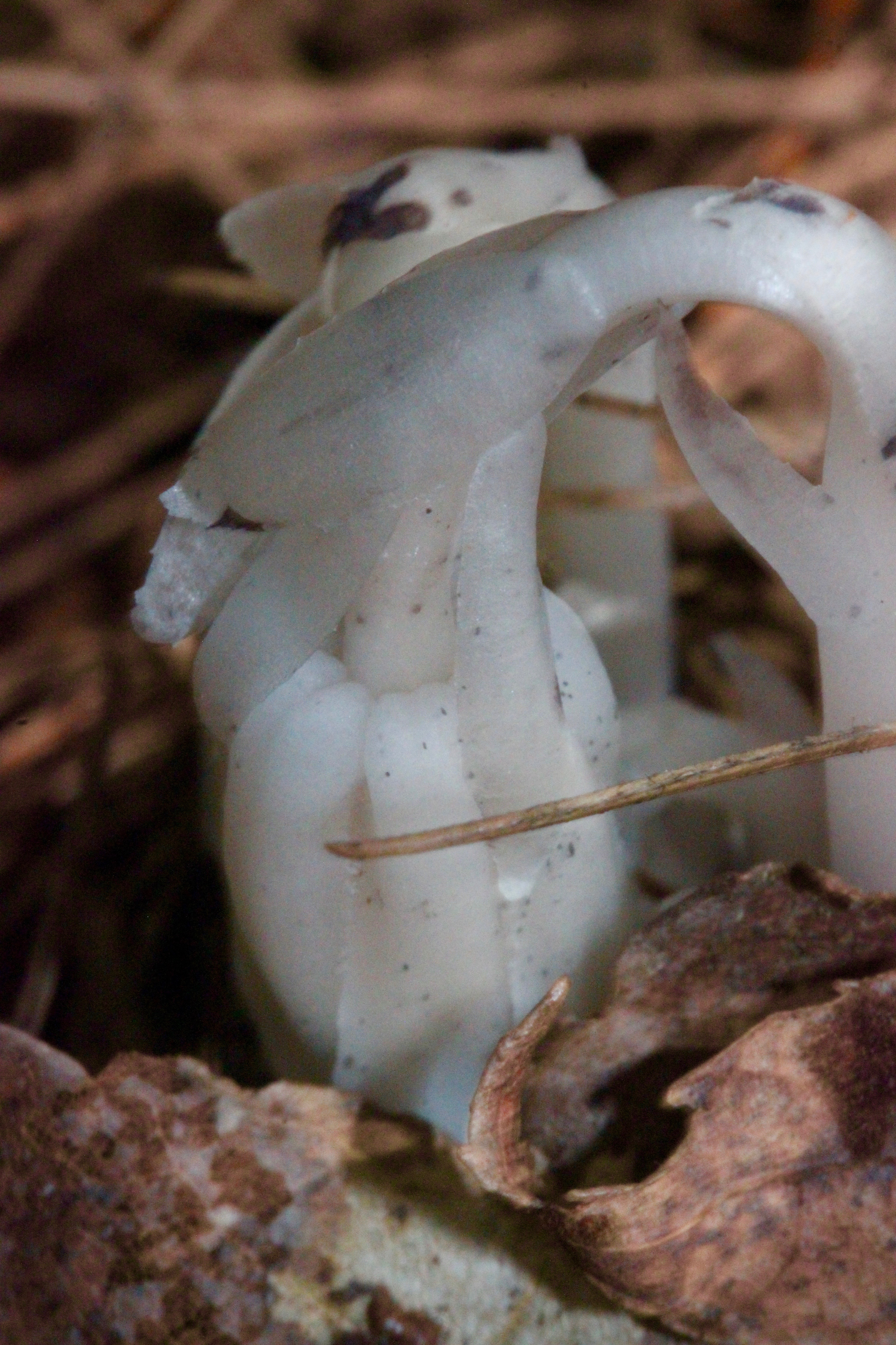 m indian pipe 5