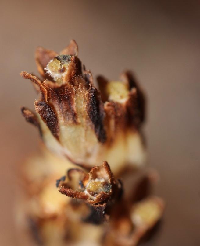 m-pine sap up