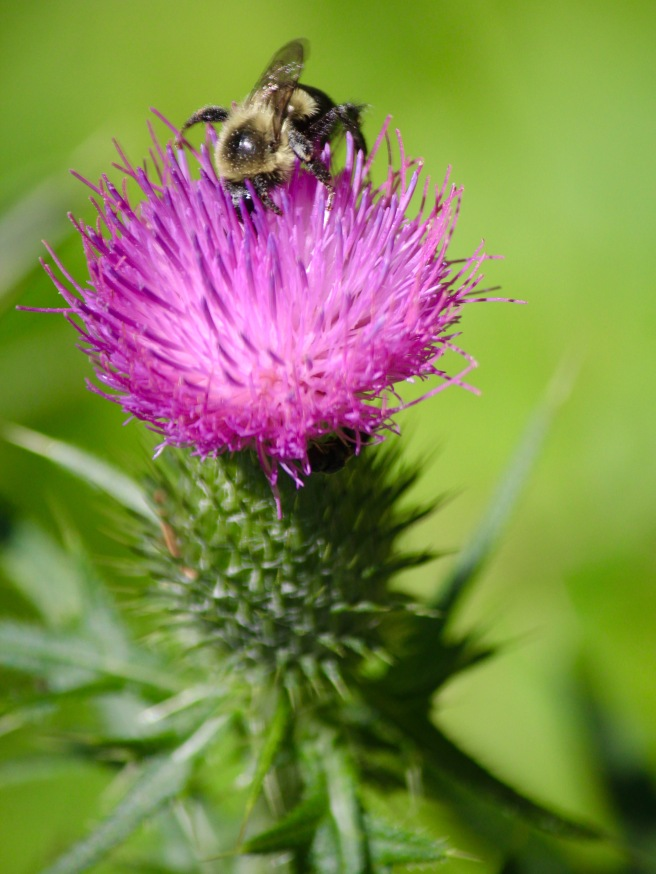 n-bee on thistle 2