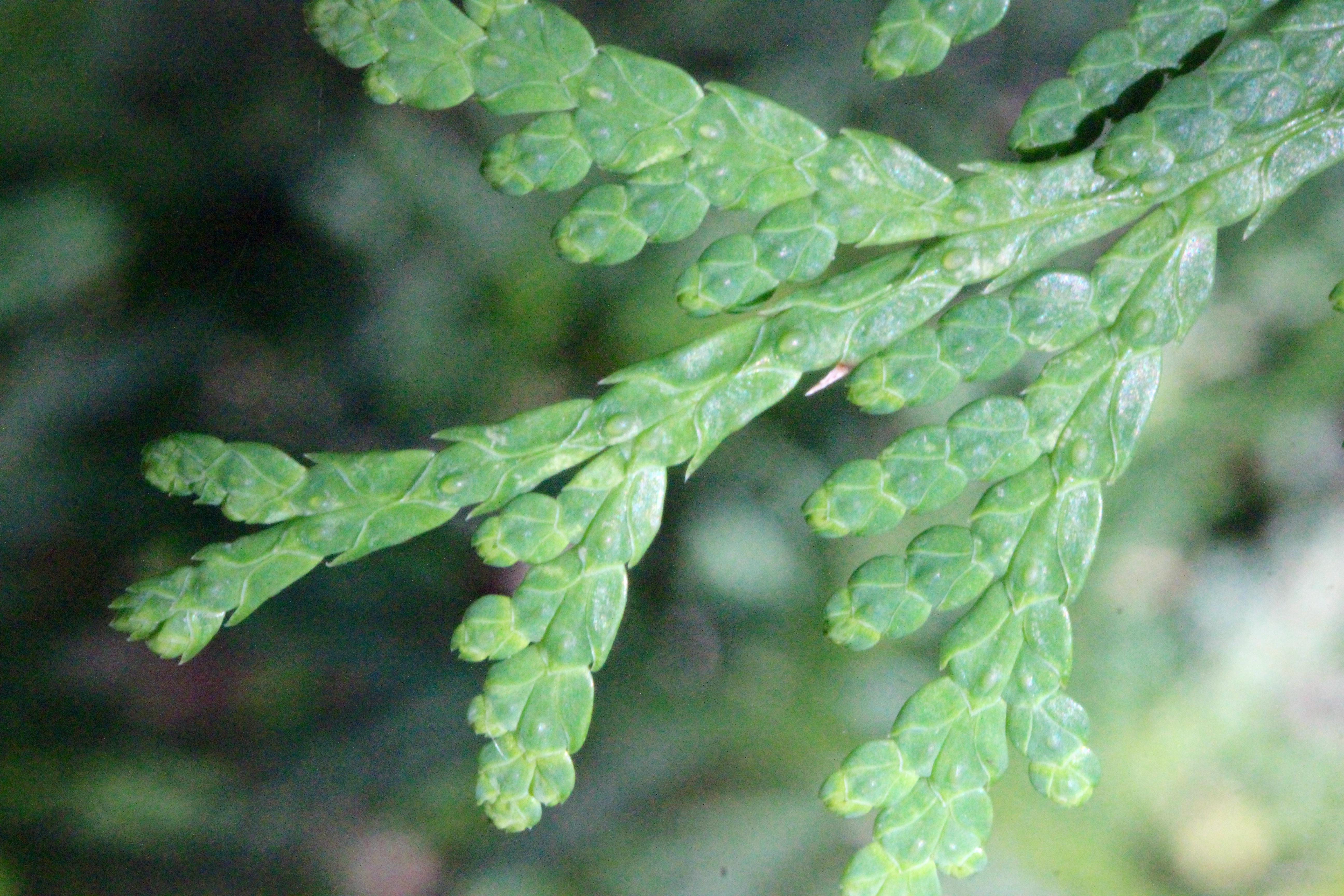 n cedar leaf