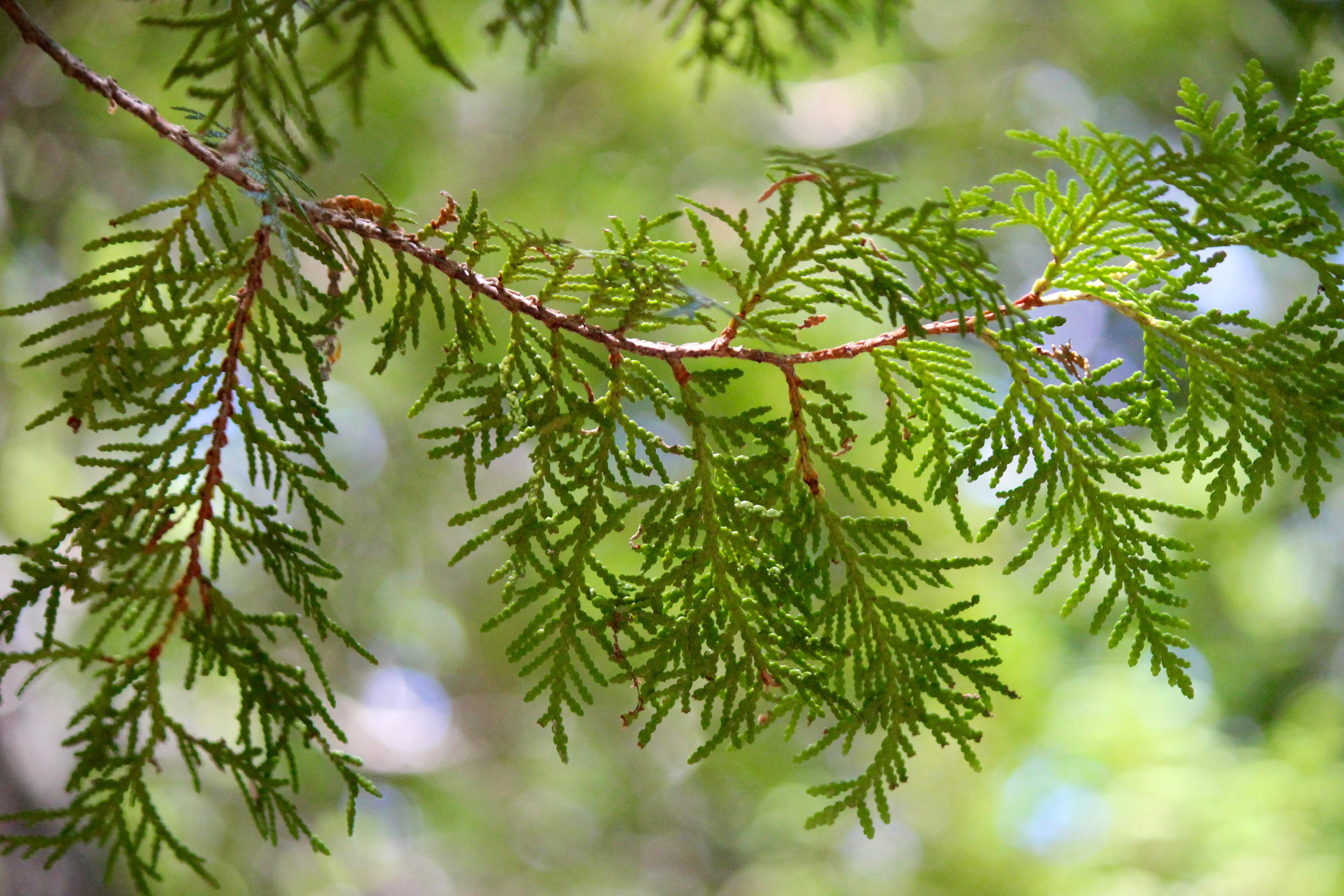 n-cedar leaves