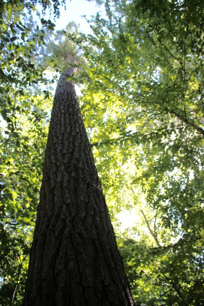 n-giant pines