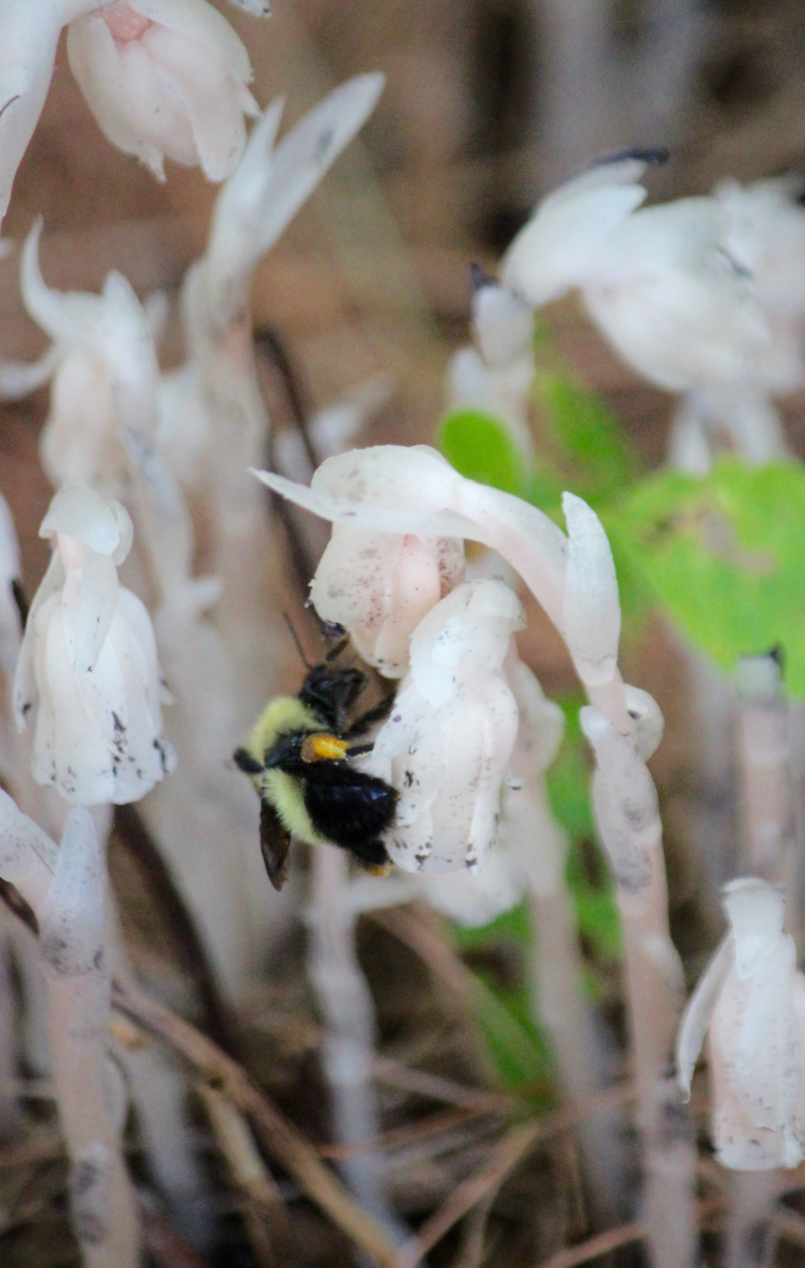 n-Indian pipe bee 1