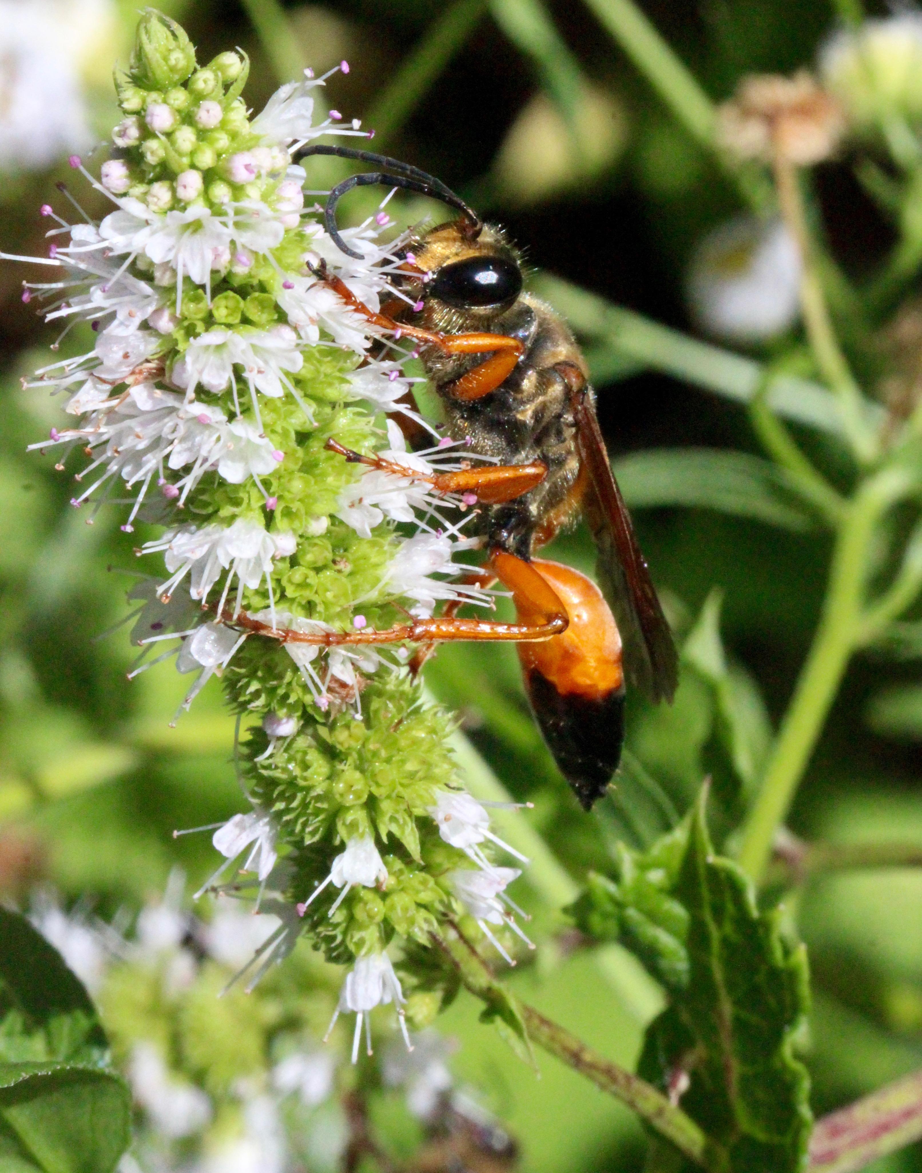 n-morning golden digger wasp