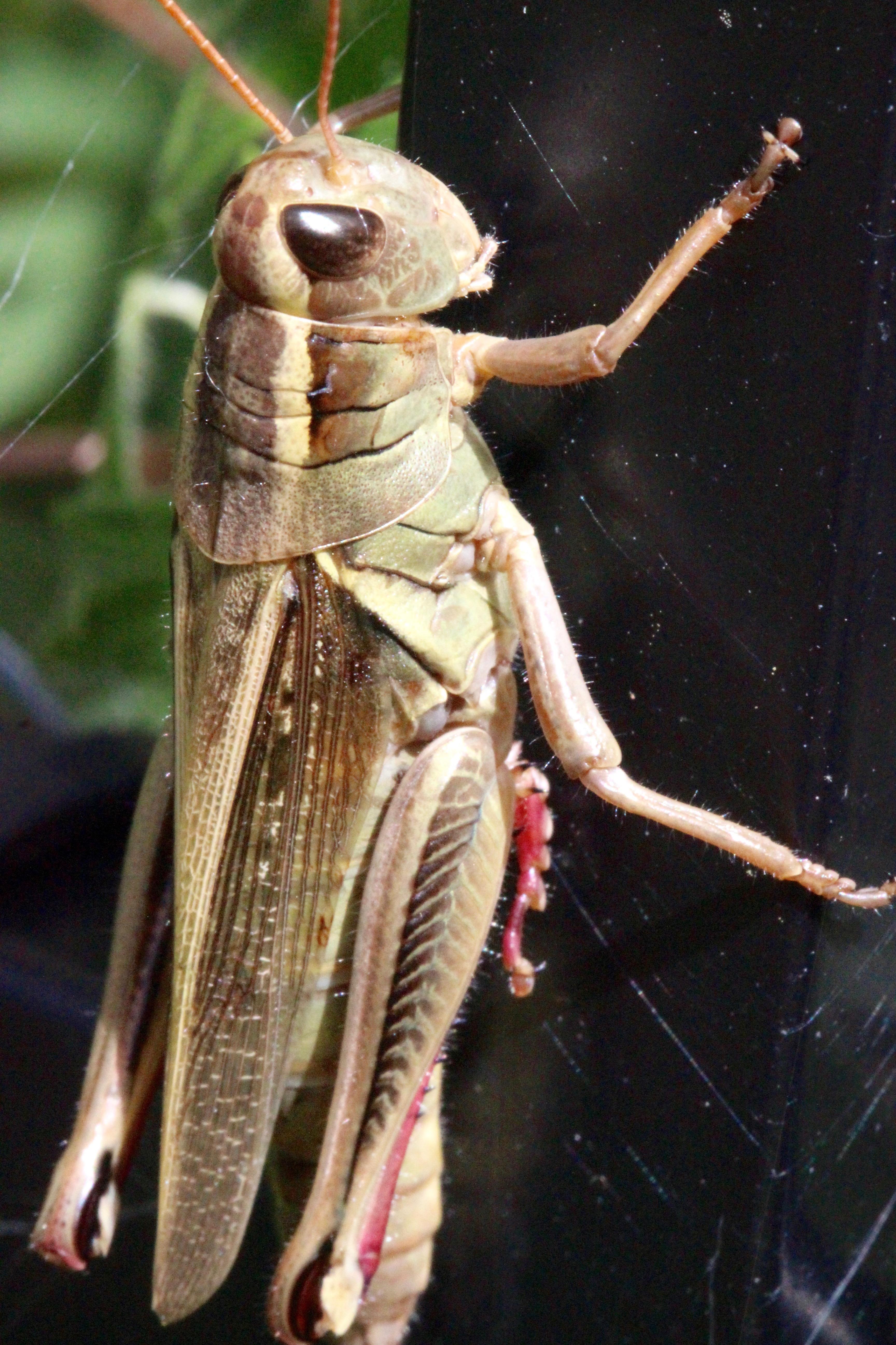 n-morning grasshopper