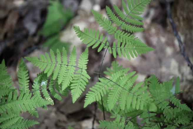 n-oak fern