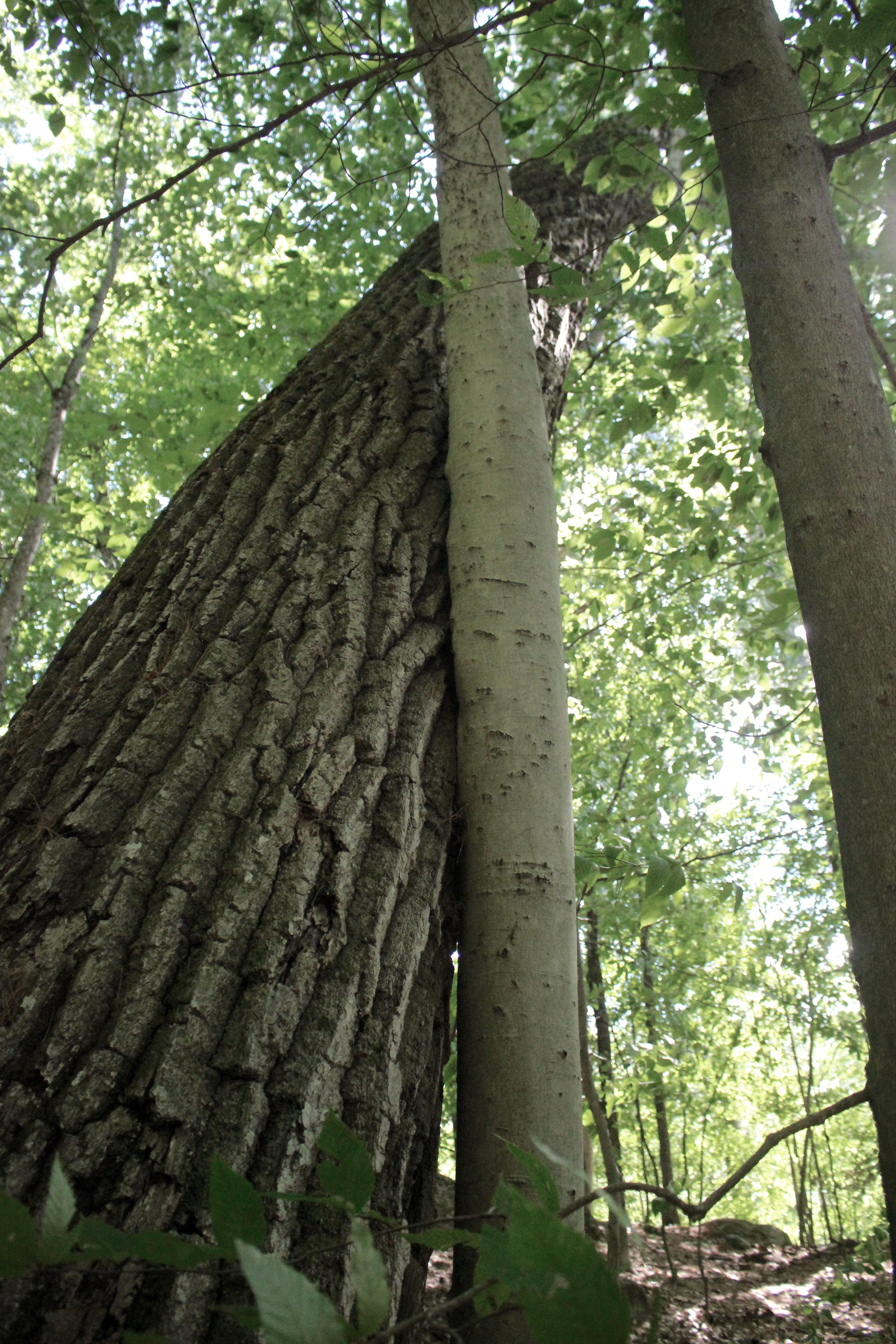 n-oak on beech