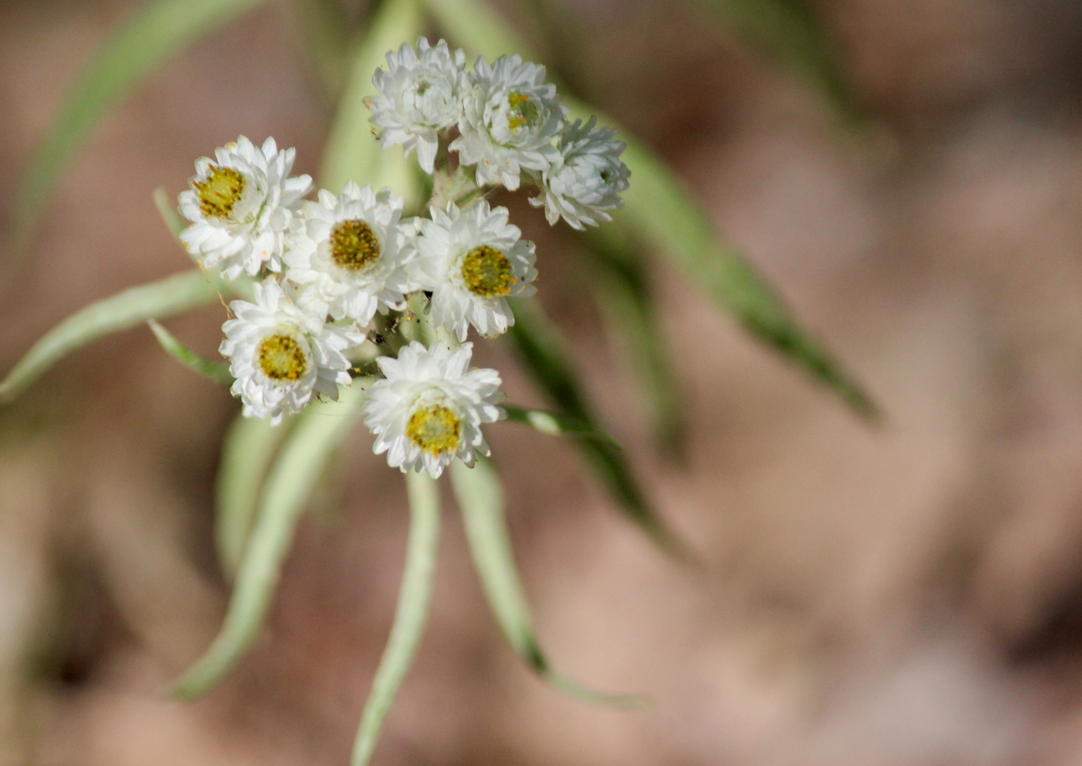 n-pearly everlasting