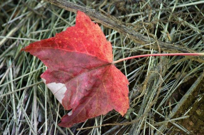 n-red leaf