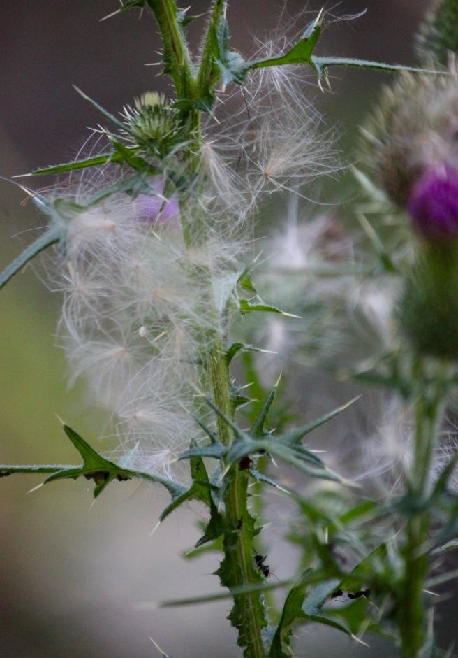 n-thistle seeds 1
