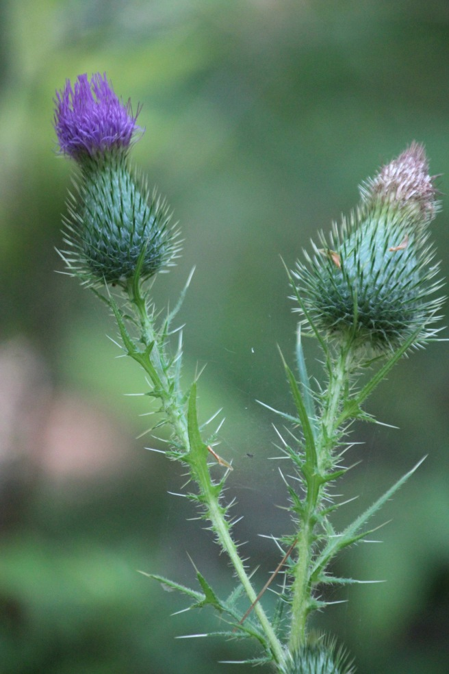 n-thistle young and old