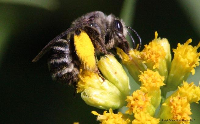 t-pollen